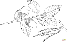 quercus suber or cork oak coloring page free printable coloring