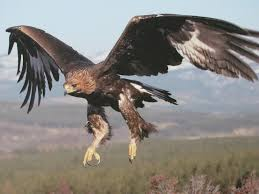 mexican eagle flying wallpaper