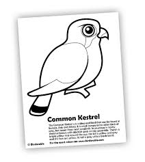 common kestrel coloring birds prey free downloads