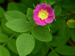 pnw native plants wood rose rosa gymnocarpa gardens and native plants