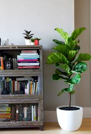top 5 indoor plants and how to care for them fiddle leaf fig