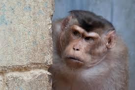how monkey fights grow eurekalert science news