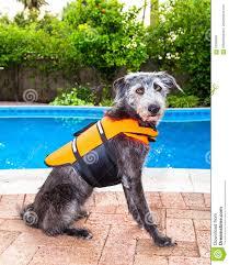 dog by pool wearing life jacket stock photo image 70089596