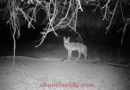 Coyote In My Backyard Couple Of Coyote Stories In And Around My Backyard 1 Hunt Buddy