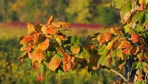 identify poison oak sumac ivy plants garden guides