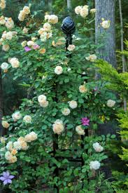 gary allen lexus of glendale the graceful gardener wordless wednesday roses u2026in my garden