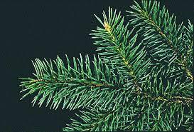 spruce genus common trees of the pacific northwest