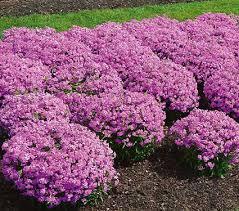 phlox flower phlox forever pink white flower farm