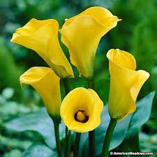 yellow calla best gold calla zantedeschia american