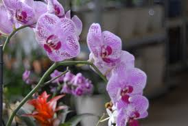 moth orchid growing moth orchids is not difficult