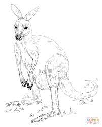 kangaroo coloring page free printable kangaroo coloring pages for