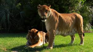 lions tigers and ligers world u0027s weirdest video nat geo wild