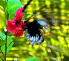 hibiscus butterfly madang ples bilong mi