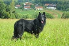 belgian sheepdog epilepsy belgian sheepdogs history and health