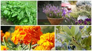 plants that keep mosquitoes away plants that keep flies and mosquitos away natural solutions for