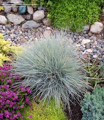 102 best blue fescue images on blue fescue gardening