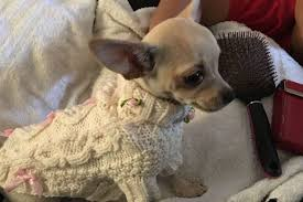 put dog to sleep this family s tiny pet dog had to be put to sleep after being found