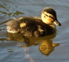 baby ducks new jersey bird photos