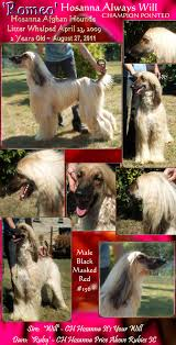 afghan hound of america aaawww afghan hound puppies for sale cute monkey whishers photos
