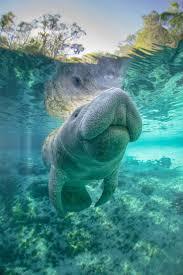 411 best dolphins u0026 manatees images on pinterest animals