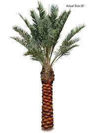 true date palm tree medjool dactylifera large palm