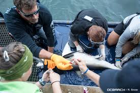 life aboard a research vessel tagging great white sharks