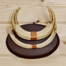 horns for sale 49 best skulls tusks and horns at safariworks taxidermy sales