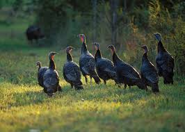 Maynard life outdoors and hidden history of maynard wild turkeys