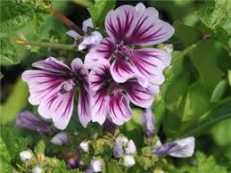 hollyhock flowers zebrina hollyhock seeds baker creek heirloom seeds
