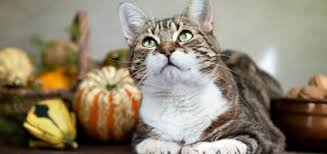 let s talk turkey your cat and the foods of thanksgiving catster