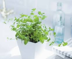 growing mint indoors u0026 how to care it balcony garden web