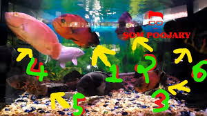 types of aquarium oscar fish different types and colors youtube