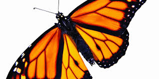 monarch butterflies dying u2014 and roundup is a suspect