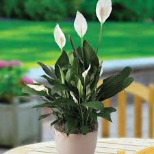 easy flowers to grow indoors home decor 8 beautiful plants to grow indoors slide 9 ifairer com