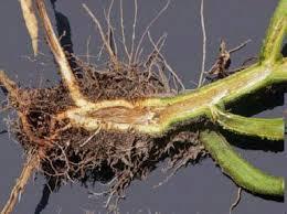 Tomato Plant Wilt Disease - bacterial wilt florida tomato scouting guide