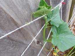 diy cucumber trellis on privacy fence coffee to compost