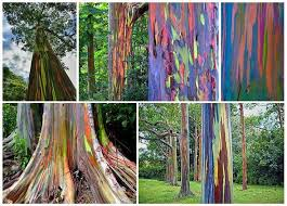 best 25 rainbow eucalyptus tree ideas on eucalyptus