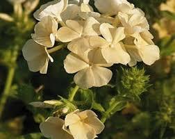 Phlox Flower Phlox Flower Etsy