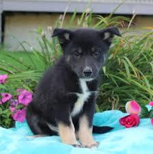 australian shepherd and husky mix australian shepherd siberian husky mix puppy for sale in gap pa
