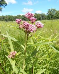 native plants of illinois category illinois prairies