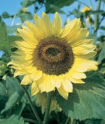 lemon organic sunflower seeds and plants annual flower