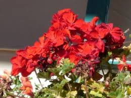 Long Blooming Annual Flowers - are geraniums annual or perennial u2013 how long do geraniums live