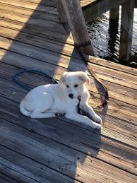 american eskimo dog poodle mix addie the american eskimo mix puppies daily puppy