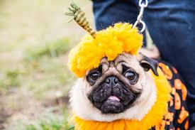 halloween costumes dogs dressing pooch
