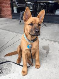 quanto vive in media un american pitbull terrier this little guy looks like a young scooby doo animais cão e