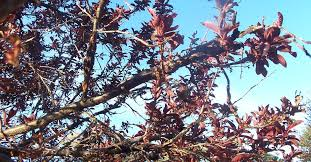 what s wrong with my flowering purple plum tree and what can i