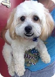 affenpinscher with underbite ziggy adopted dog encino ca cockapoo mix