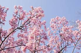 20 cherry blossom tree facts things you didn t about cherry