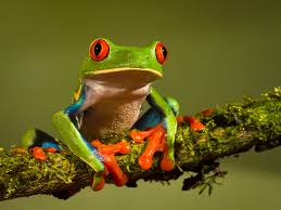 s cutest frog 15 frogs use their sticky muscular tongue