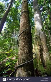 vine climbing up rainforest tree stock photos u0026 vine climbing up